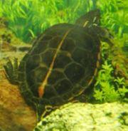 Rückenstreifen-Zierschildkröte männlich Chrysemys picta dorsalis