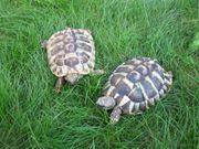 Verkaufe 2 Griechische Landschildkröten Testudo