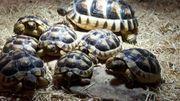 Testudo Marginata- Breitrandschildkröte Nachzuchten aus
