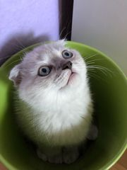 Kitten Scottish Fold Straight