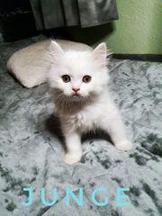 BKH BLH Kitten Weiss