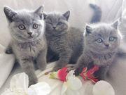 bkh Kitten abzugeben Britisch Kurzhaar