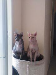 Zwei Don Sphynx Geschwister-Katzen