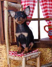 Welpen Russkiy Toy Toy Terrier