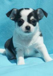 liebenswerter Chihuahua-Welpe Kurzhaar tricolor schwarz
