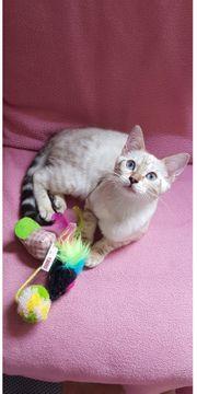 Bengal Kitten suchen ein Zuhause
