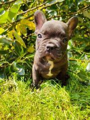 Süße Französische Bulldoggen Welpen