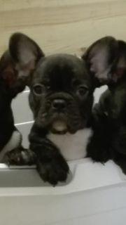 Französische Bulldogge - Welpe nur noch