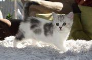 BKH Kitten ab 12 Wochen