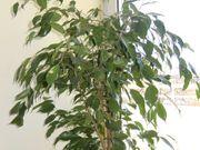 Birkenfeige ca 140 cm groß