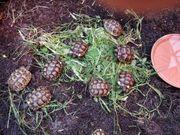 Maurische Landschildkröte T Graeca NZ