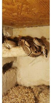 königspython zu verkaufen