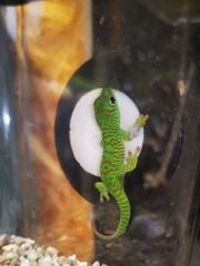 Phelsuma Grandis High Red 0