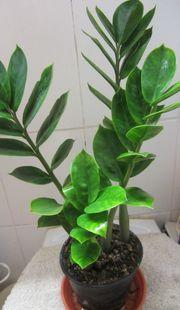 Goldfeder Philodendron Aloe Vera Sukkulente