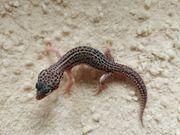 Leopardgecko Männchen aus 2021