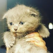 Katze Scottish Fold