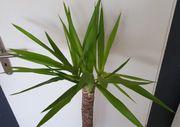 Yucca Elephantipes Palme 112 cm