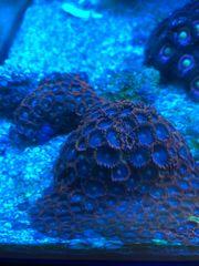 Korallen Meerwasser Zooanthus Montipora