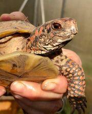 Dosenschildkröten Terrapene Carolina Triunguis von