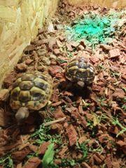 2x griechische Landschildkröten mit Terrarium