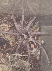 1 1 Hapalopus spec Kolumbien
