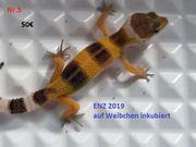 junge Leopardgeckos