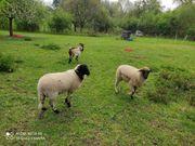 Lämmer Schafe