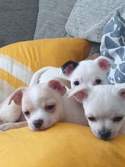 Chihuahua Jackrusselmix Welpen