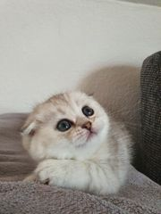 Scottish Fold Kurzhaar