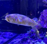 XL Igelfisch Meerwasser
