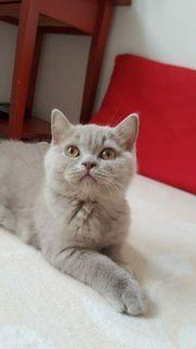 BKH Kitten Noch 2