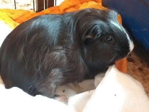 meerschweinchen namen weiblich