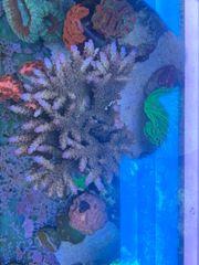 Acropora Meerwasser Koralle Mutterstock SPS