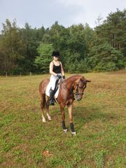 New Forest Stute Sportpferd