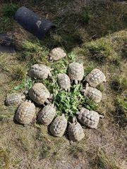 Griechische Landschildkröte - Testudo hermanni boettgeri