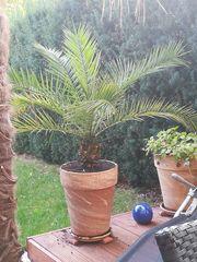 Wunderschöne groß -gezogene Palme abzugeben