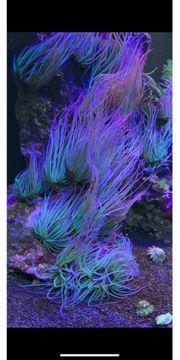 Wachsrose Meerwasser Koralle