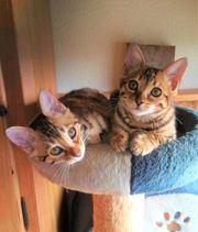 Bengal Kitten Kater und Katzen
