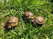 Griechische Landschildkröten aus 2018 und