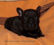 Französische Bulldoggen Welpen Hündin mit