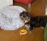 Yorkshire Terrier Schocko Biro