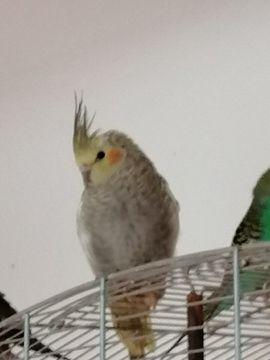 Nestjunge Nymphensittiche suchen liebevolles Zuhause