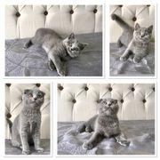 Scottish Fold BKH Kitten Bereit