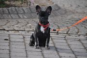 Französische Bulldogge Welpe in der