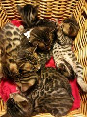 Bengale Kitten verschmust