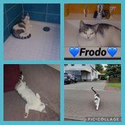Kater Frodo 2 Jahre kastriert