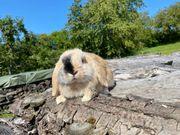 Kaninchen kastriert Zwergwidder und Mixe