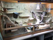 Bartagame inkl Terrarium
