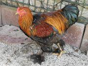 Hühner Brahma Rebhuhnfarbig-gebändert Henne Hahn