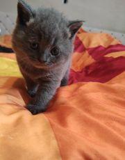 BKH Babys Kätzchen